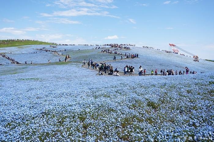 【日本粉蝶花】東京日立海濱公園,淡藍花朵地毯,此生必看美景!