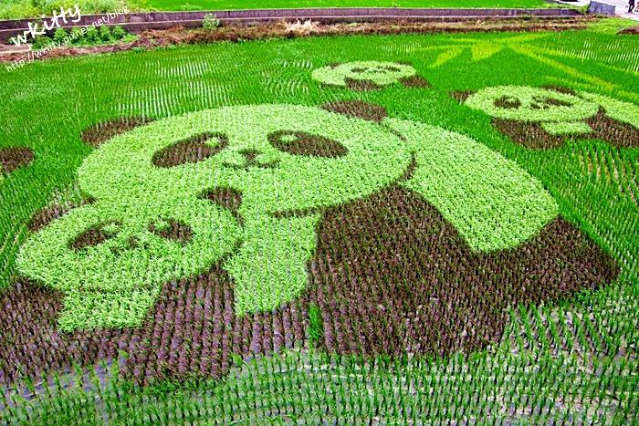 【苗栗苑裡稻田彩繪景點】熊貓超可愛,五隻圓仔萌翻天,11月初前都看的到!