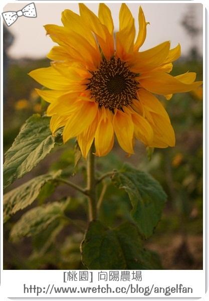 [玩♡桃園]-夕陽餘暉灑落太陽花。向陽農場