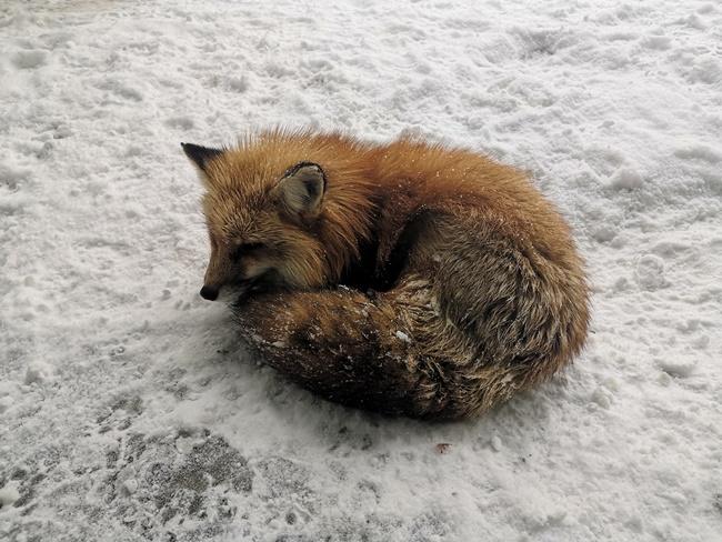 【日本藏王狐狸村】交通推薦包車最方便,狐狸在雪地裡耍萌(有影) @小環妞 幸福足跡