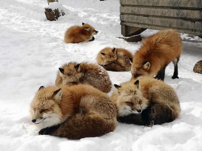 最新推播訊息:【狐狸在雪地裡耍萌】