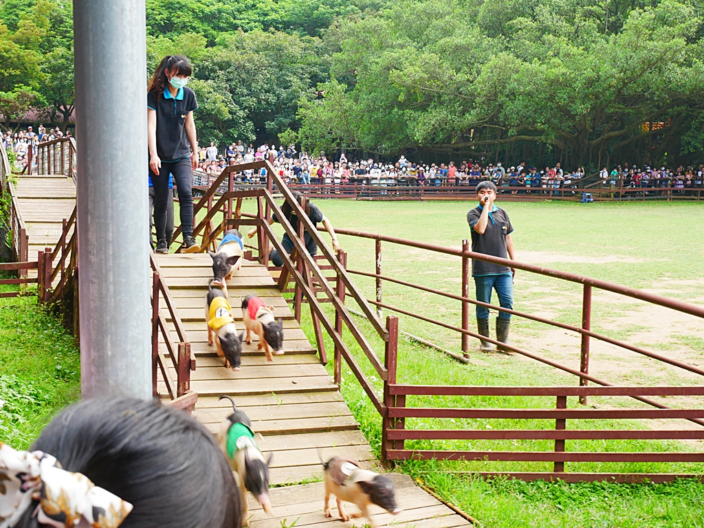 【桃園親子景點】埔心牧場,超可愛的水豚君.羊駝.梅花鹿,還可以體驗賽金豬 @小環妞 幸福足跡